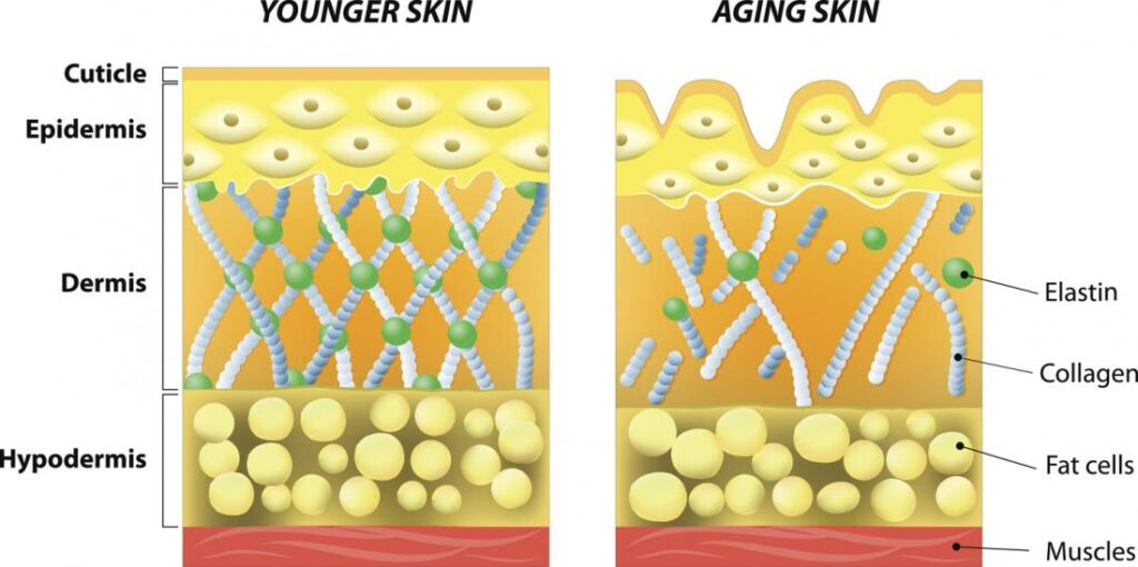 the structure of collagen and how it boosts skin strength
